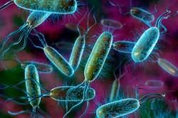 Кишечные палочки - основные возбудители инфекций
